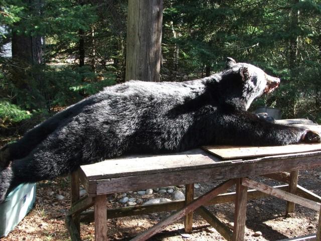 Kamp+Kinniwabi+-+Bear+on+Table