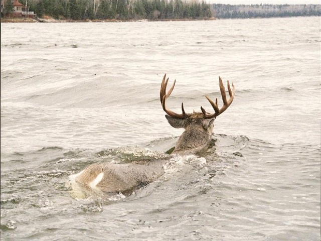 Swimming-Deer0003-Medium