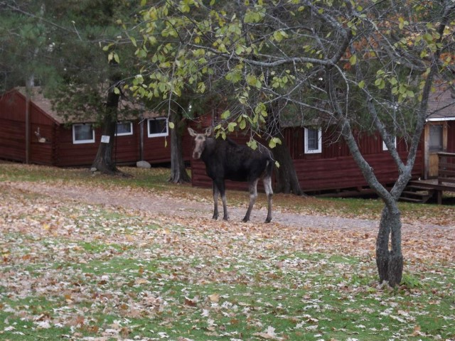 moose-Oct.-16-2012-003-Medium